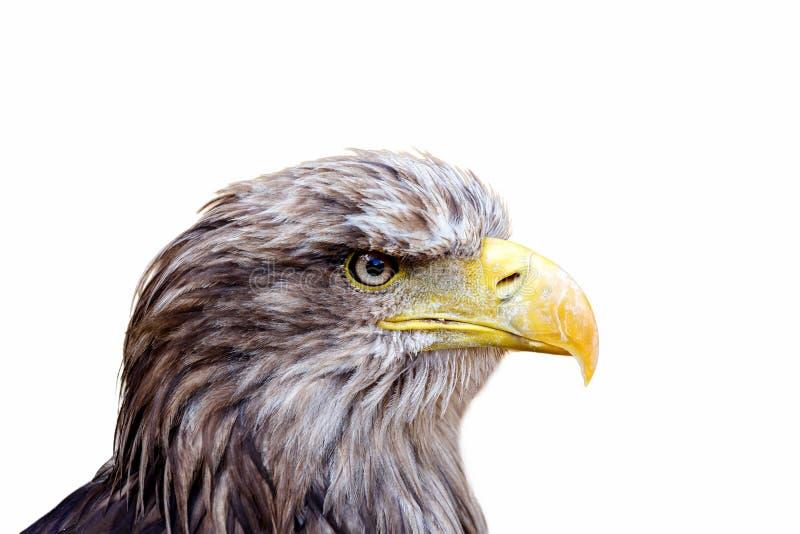 Isolerat stort hav Eagle (Haliaeetusalbicill) som framåt ser fotografering för bildbyråer