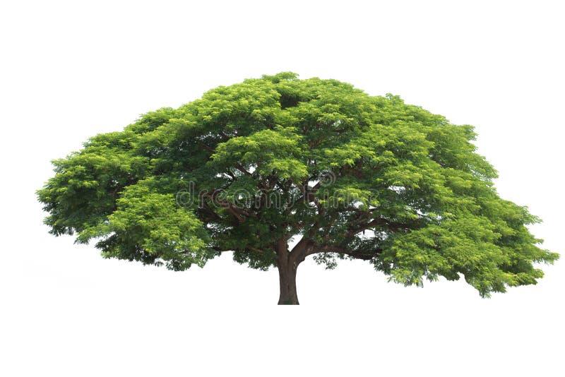 Isolerat stort träd, allmänningnamn: saman regnträd, monkeypod, gi arkivbild