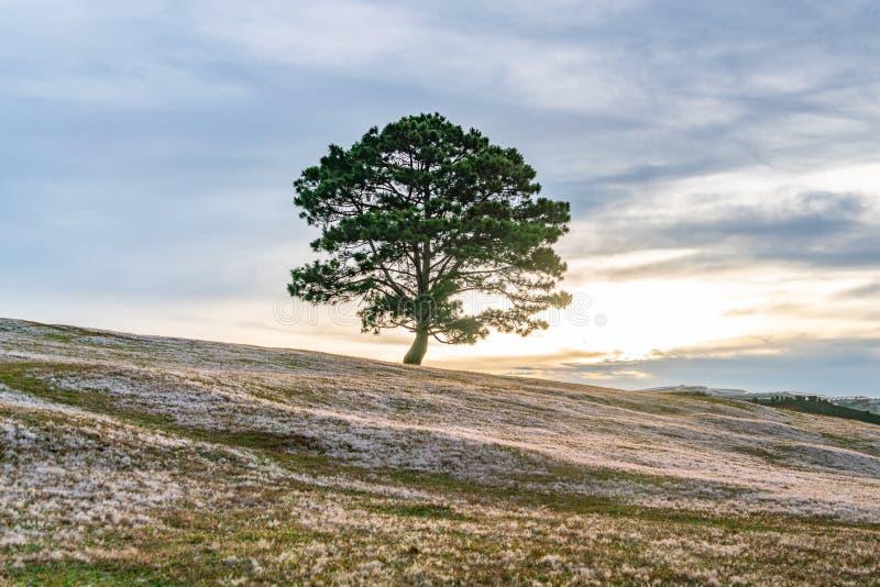 Isolerat stort träd på den rosa gräsdalen under solnedgång royaltyfria foton