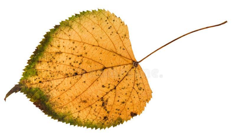 isolerat stupat ruttet blad av lindträdet royaltyfria foton