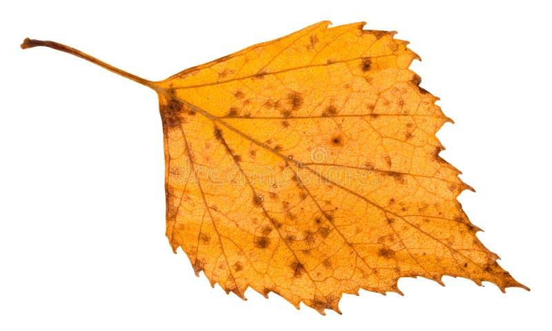 isolerat stupat ruttet gult blad av björkträdet fotografering för bildbyråer