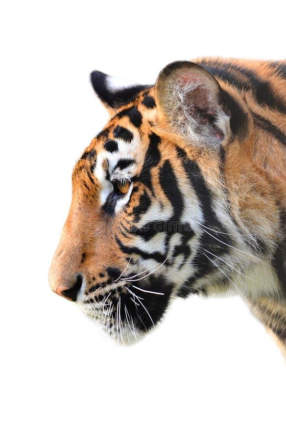 Isolerat tigerhuvud royaltyfri fotografi