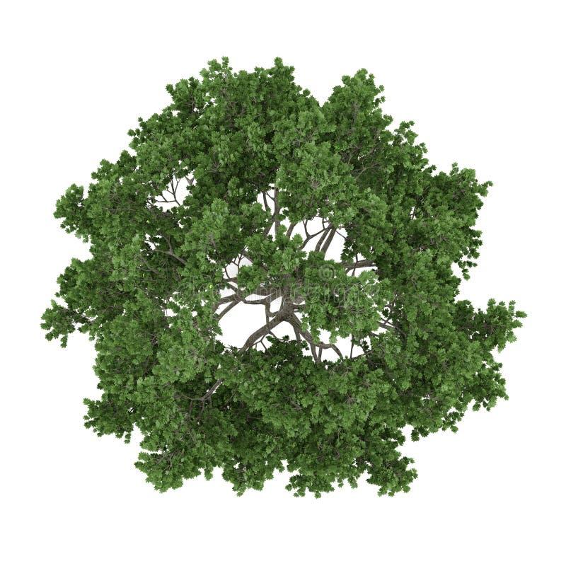 Isolerat träd. Överkant för Acer saccharumlönn stock illustrationer