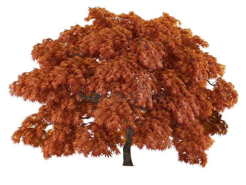 Isolerat träd. Acer japonicum vektor illustrationer