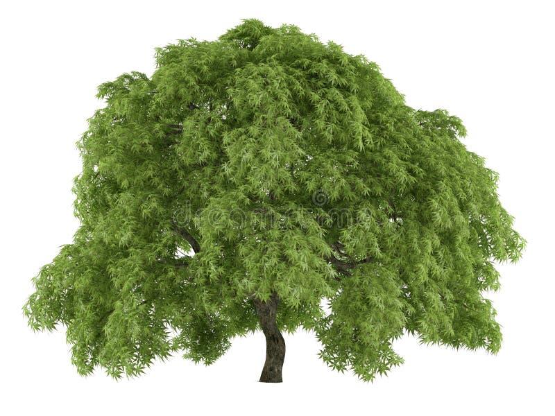 Isolerat träd. Acer palmatum royaltyfri illustrationer