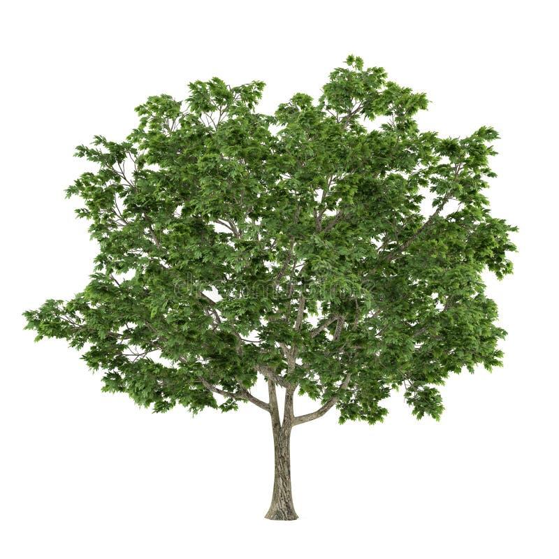 Isolerat träd. Acer platanoideslönn royaltyfri illustrationer