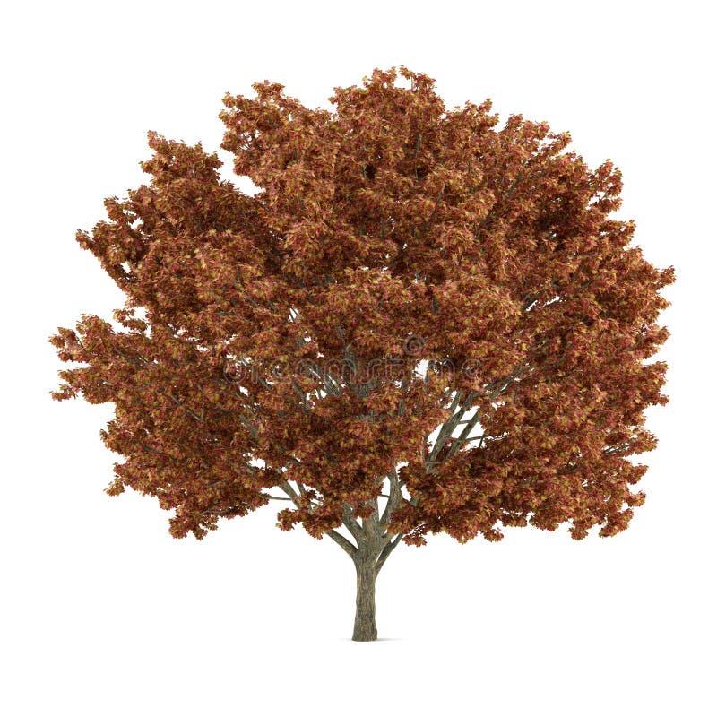 Isolerat träd. Acer röd apelsin stock illustrationer