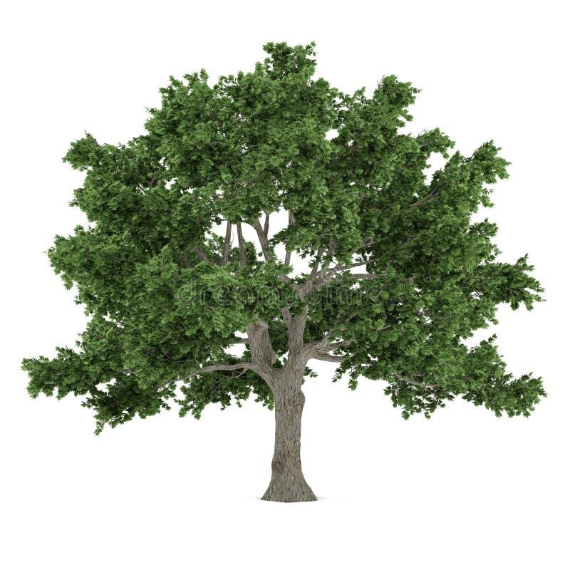 Isolerat träd. Acer saccharumlönn royaltyfri illustrationer