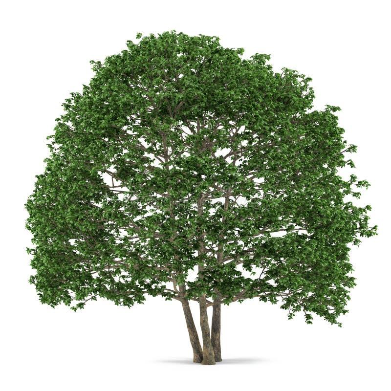Isolerat träd. Alnus vektor illustrationer
