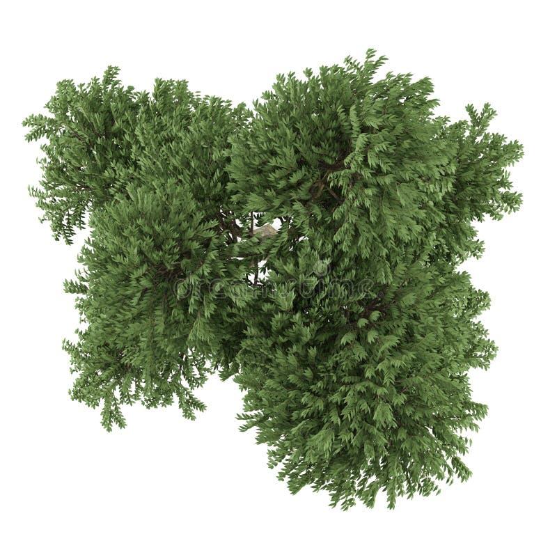Isolerat träd. Arbutusmenziesiiöverkant stock illustrationer
