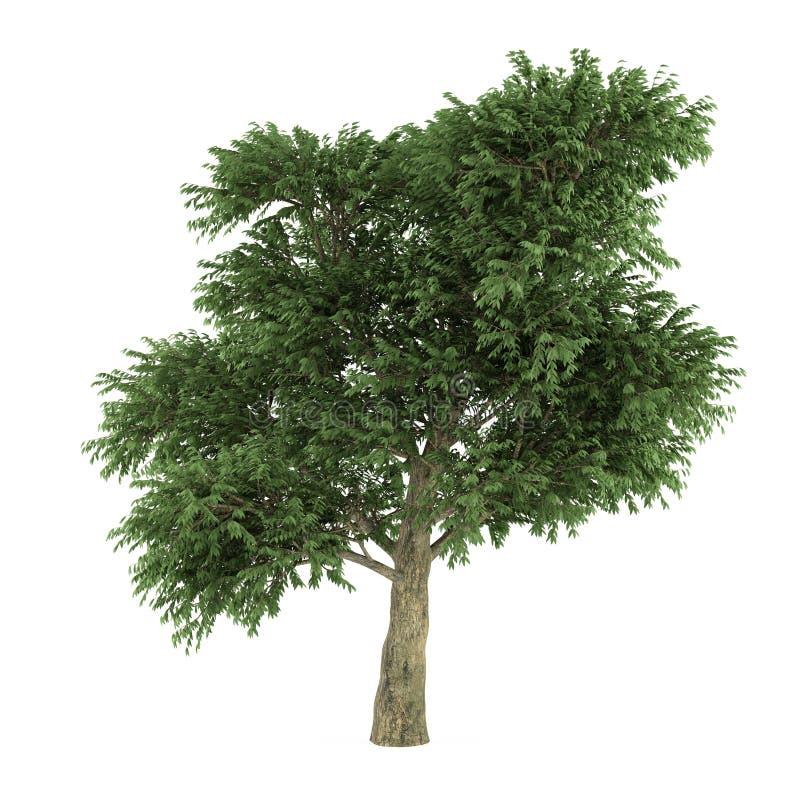 Isolerat träd. Arbutusmenziesii stock illustrationer