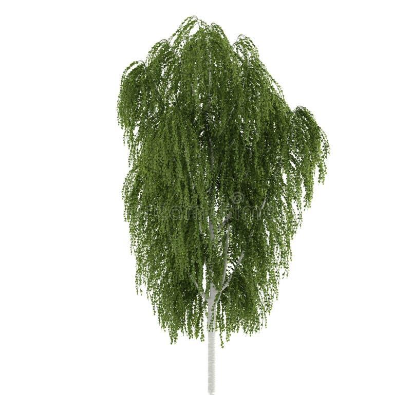 Isolerat träd. Betulabjörk stock illustrationer