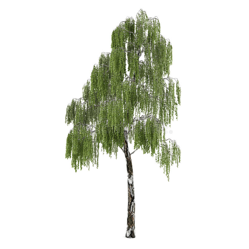 Isolerat träd. Betulabjörk vektor illustrationer