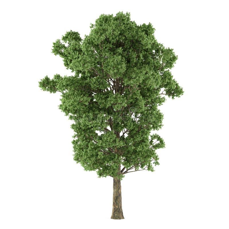 Isolerat träd. Canescens för Populus x vektor illustrationer