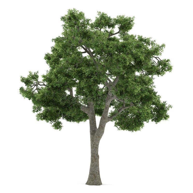 Isolerat träd. Fraxinus vektor illustrationer