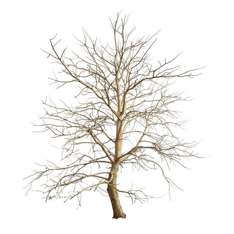 Isolerat träd i vinter med inga sidor på vit bakgrund royaltyfri bild