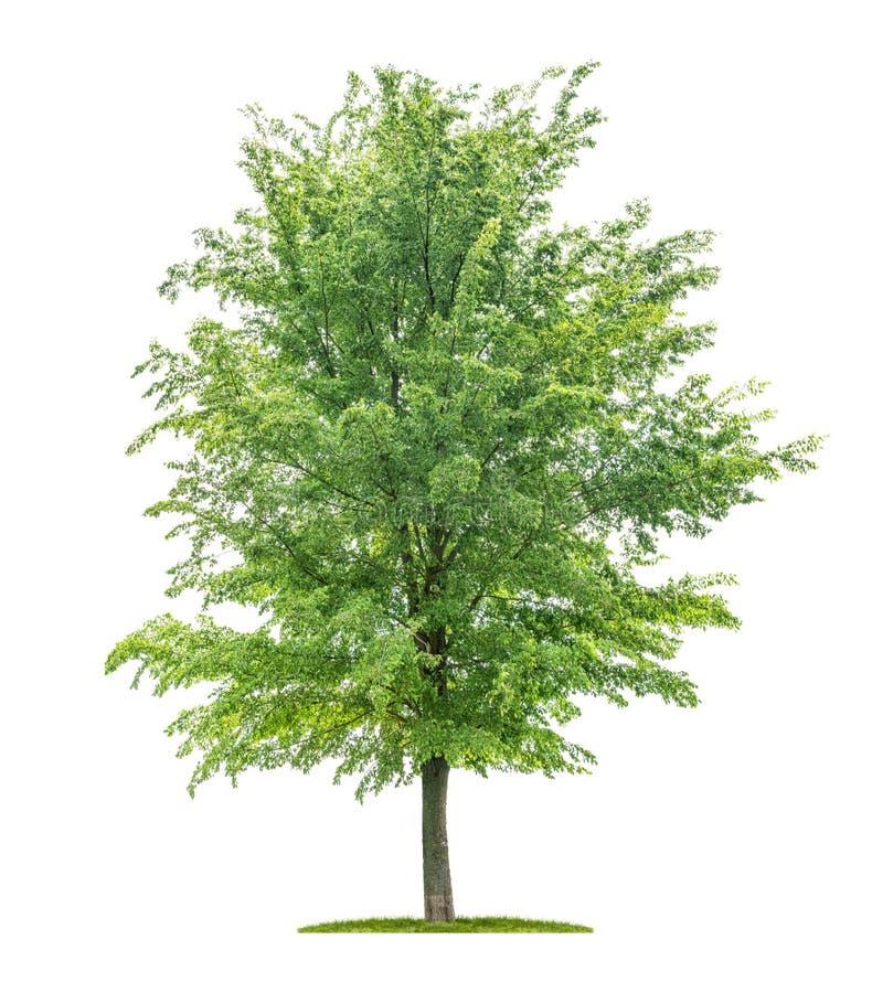 Isolerat träd på en vit bakgrund - Ulmus - alm arkivfoto