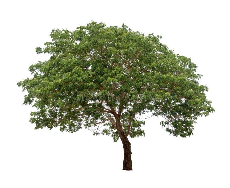 Isolerat träd på vit bakgrund royaltyfri fotografi