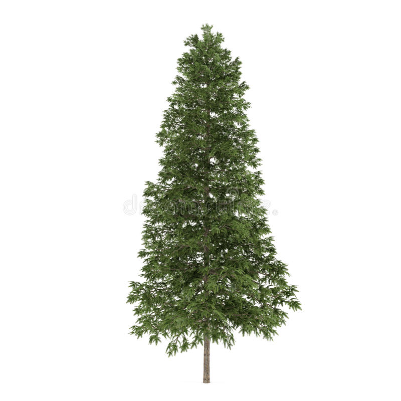 Isolerat träd. Piceaen abies gran-trädet vektor illustrationer