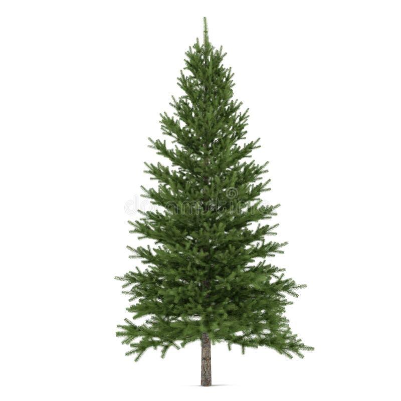 Isolerat träd. Pinusgran-träd royaltyfri illustrationer