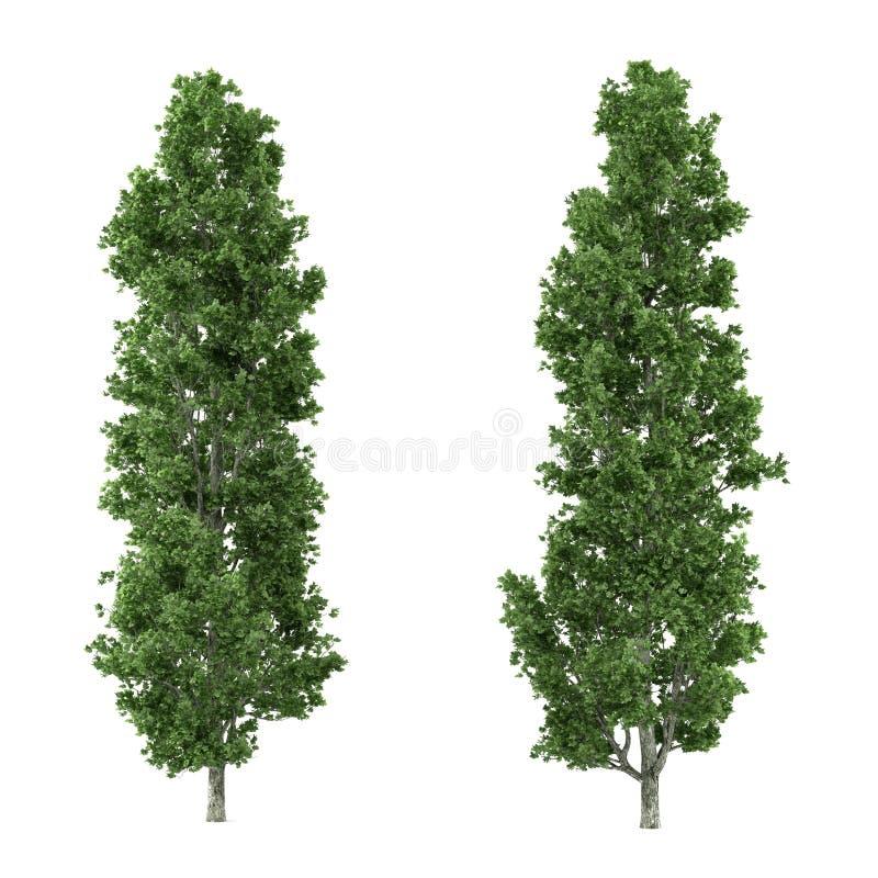 Isolerat träd. Populus royaltyfri illustrationer