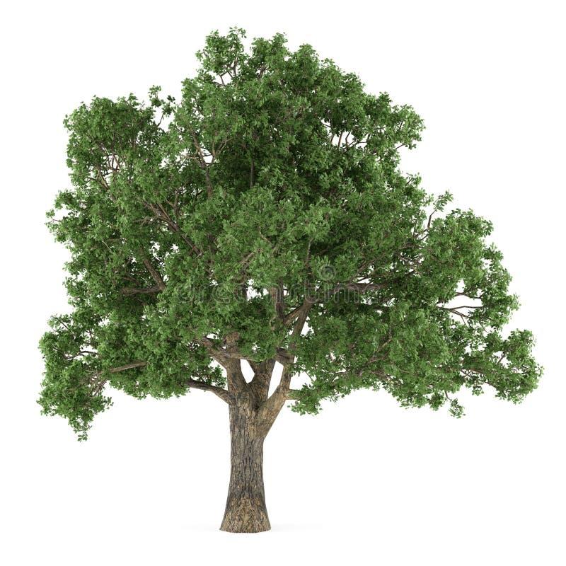 Isolerat träd. Quercus stock illustrationer