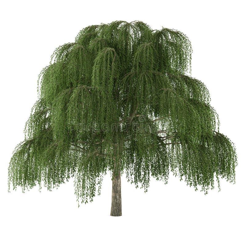 Isolerat träd. Salixpil royaltyfri illustrationer