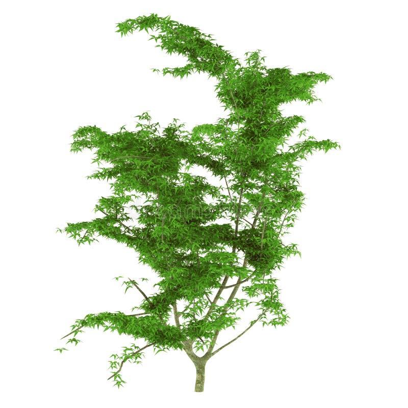 Isolerat ungt träd royaltyfri illustrationer