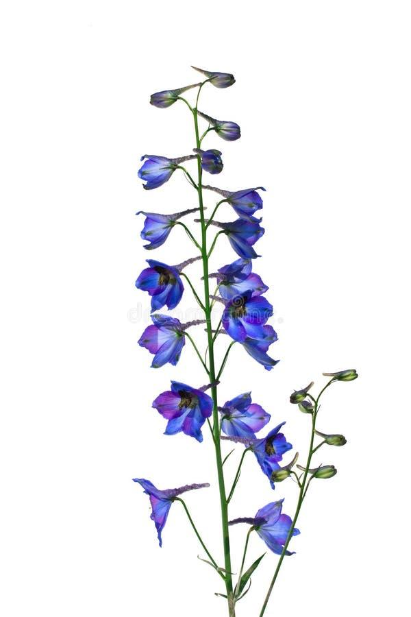 Isolez le delphinium de fleur (pied-d'alouette) sur un fond blanc images libres de droits