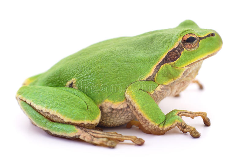 Isollated grön groda royaltyfri fotografi