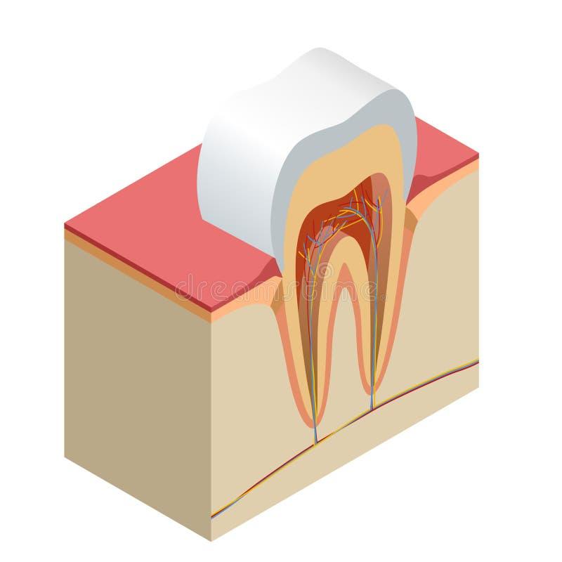 Isometric πραγματική δοντιών ανατομίας κινηματογραφήσεων σε πρώτο πλάνο αποκομμένη ρεαλιστική διανυσματική απεικόνιση πλάγιας όψη απεικόνιση αποθεμάτων