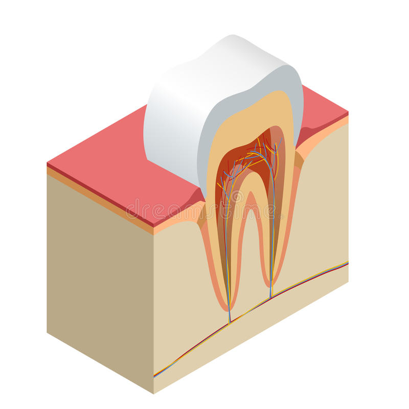 Isometrische echte van de de close-up opengewerkte sectie van de tandanatomie model het zijaanzicht realistische vectorillustrati stock illustratie