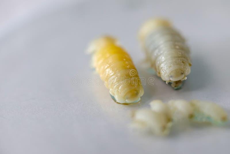 Isopoda het klassenschaaldier, Isopods levend in het overzees, in zoet water, Isopods heeft chitinous exoskeleton en verbonden li royalty-vrije stock fotografie