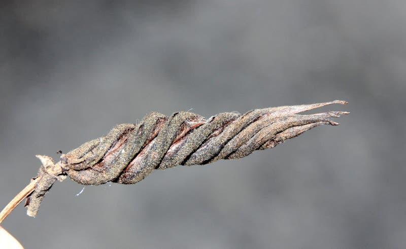 Isora del Helicteres, albero di vite indiano fotografia stock