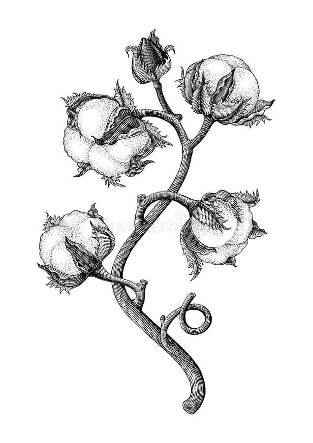 Isotale do estilo da gravura do vintage do desenho da mão da planta de algodão no whi ilustração stock