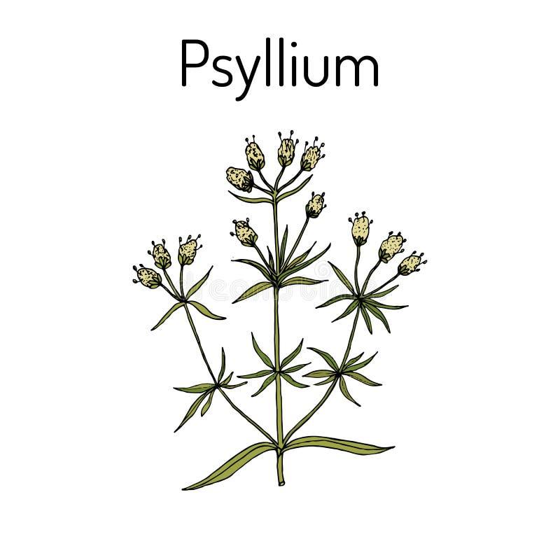 Ispaghula plantagopsyllium, medicinalväxt royaltyfri illustrationer