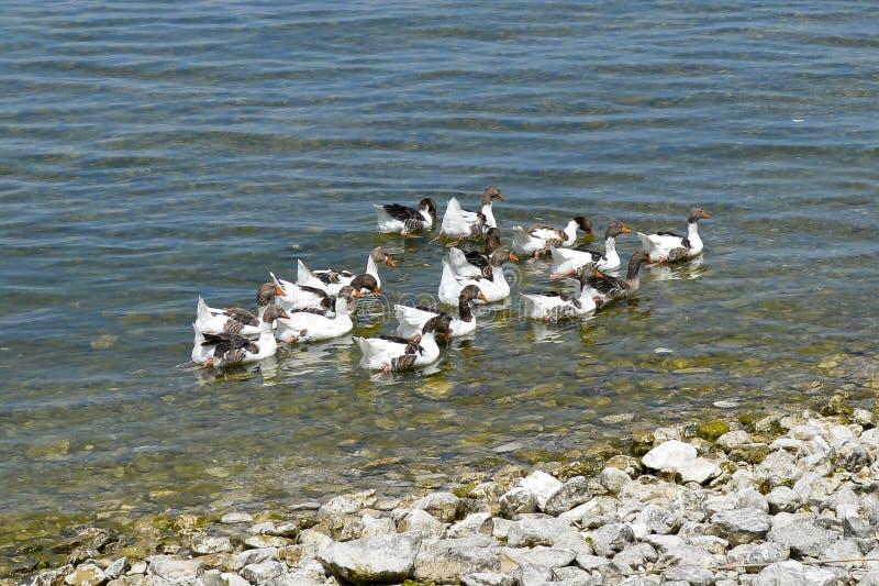 Isparta province Egirdir lake. Birds in Egirdir lake, Isparta province, Turkey royalty free stock photo
