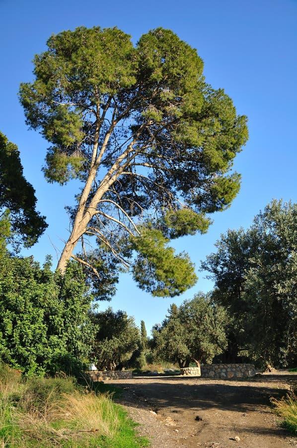Israëlische eucalyptus. royalty-vrije stock fotografie