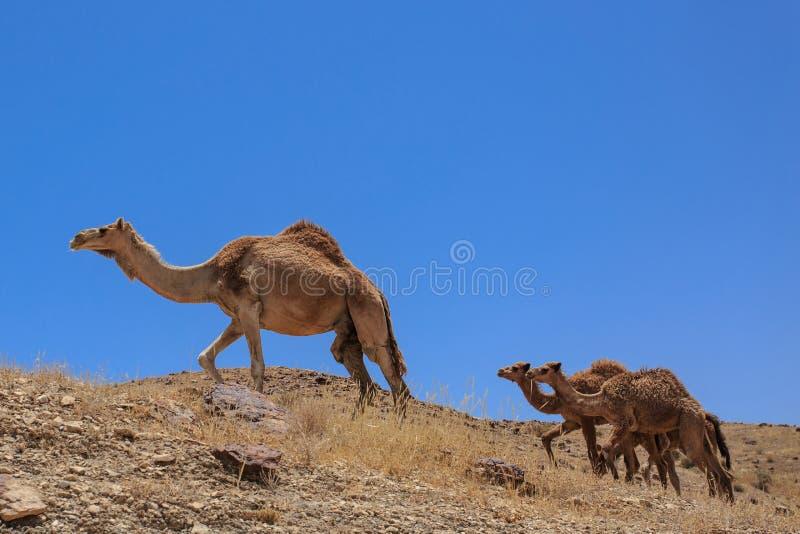 Israel öken, a-flock av arabiska kamel fotografering för bildbyråer