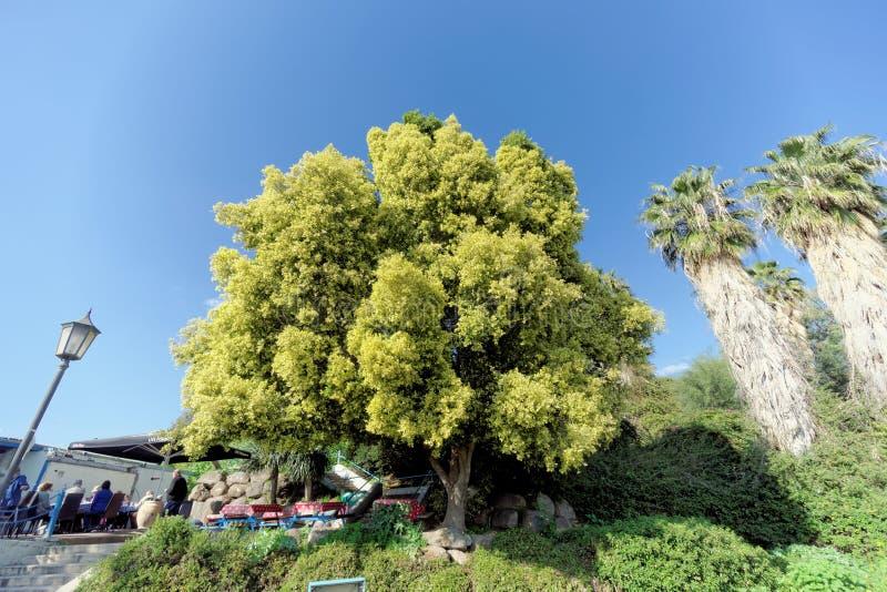 Israel - 17 de febrero 2017 Un árbol hermoso con una corona verde clara enorme cerca del restaurante de San Pedro foto de archivo libre de regalías
