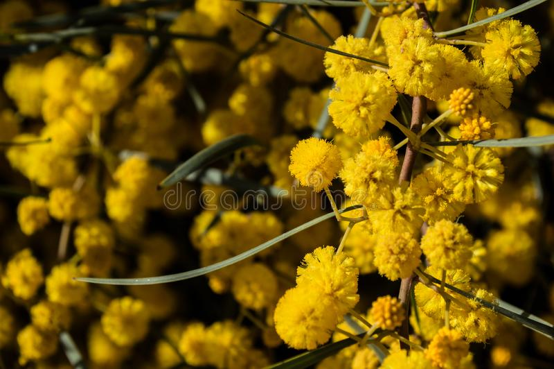 Golden Mimosa Flowers. Israel golden mimosa flowers at Yarkon river royalty free stock images
