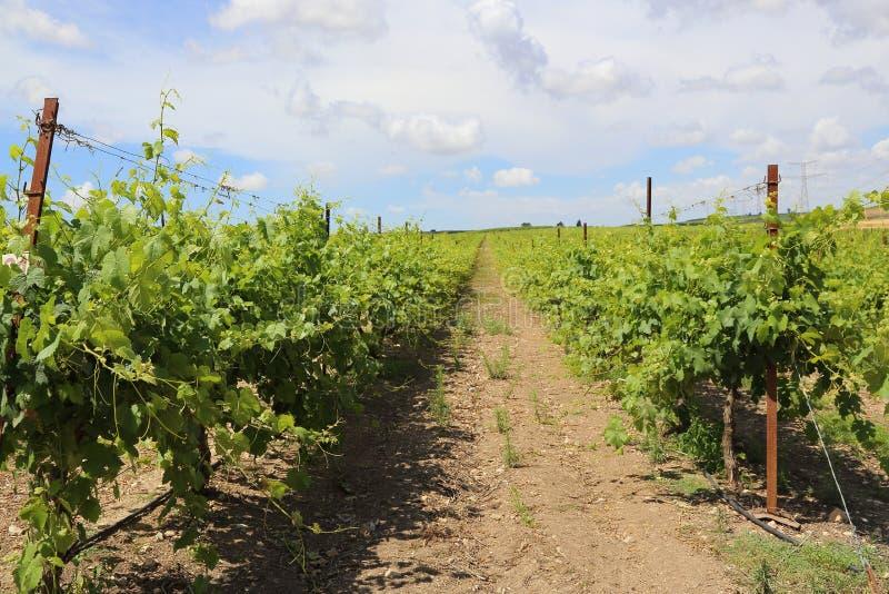 Israel vingård - Barkan arkivbilder