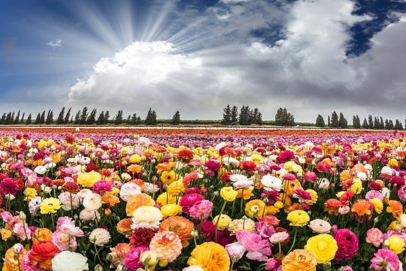 Israeliska kibbutzer för blomma arkivbilder