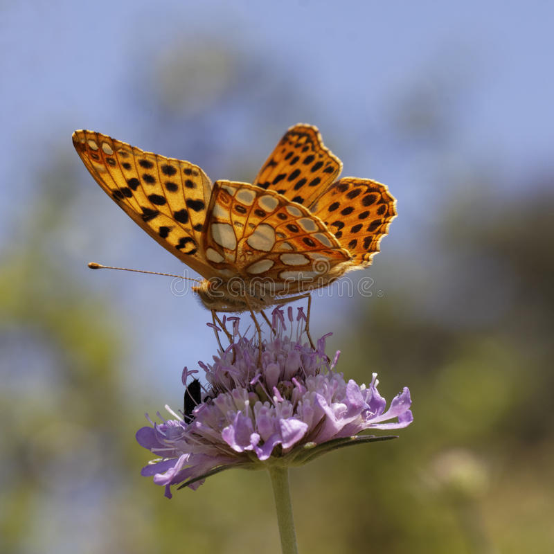 Free Issoria Lathonia, Queen Of Spain Fritillary Royalty Free Stock Image - 29306676
