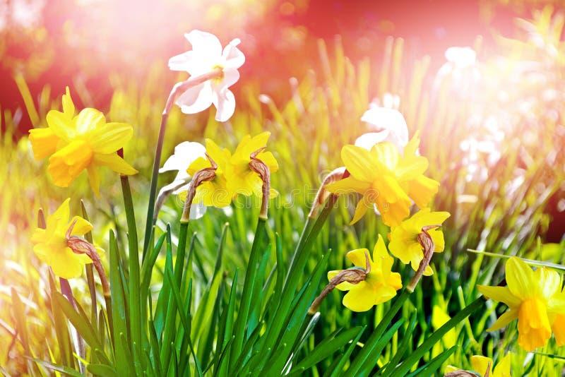 Ist ein grünes Feld voll der Weizenanlagen schöner Frühling blüht Narzissen lizenzfreie stockbilder