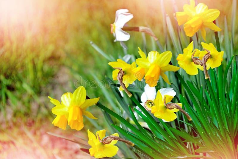 Ist ein grünes Feld voll der Weizenanlagen schöner Frühling blüht Narzissen stockfotos