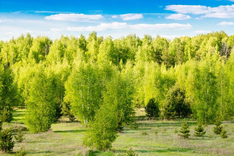 Ist ein grünes Feld voll der Weizenanlagen Wald mit jungem hellgrünem Laub in den Bäumen gegen den blauen Himmel und den hellen S stockbilder