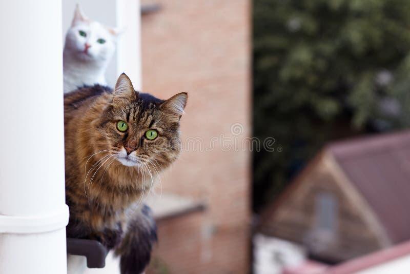 Ist tebby Blicke der langhaarigen sibirischen Katze Farbheraus vom Fenster auf oben Boden des Hauses, andere weiße Farbe mit eine stockfotografie