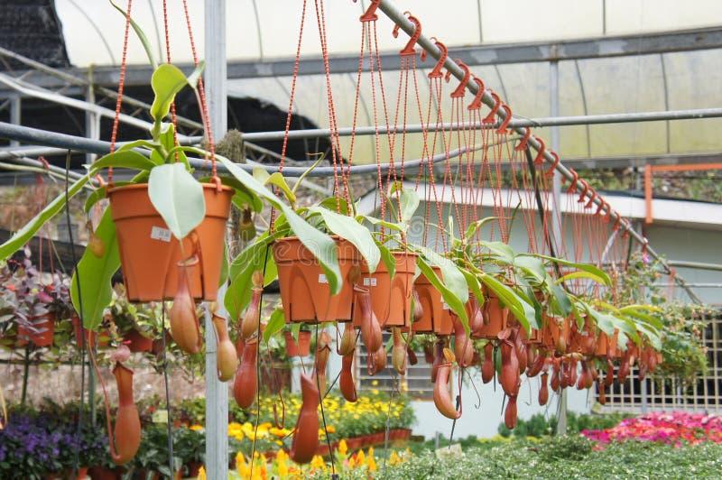 Ist tropische Kannenpflanzen des Nepenthes alias, eine Klasse von Fleisch fressenden Anlagen stockbilder