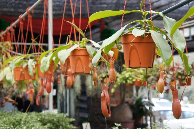 Ist tropische Kannenpflanzen des Nepenthes alias, eine Klasse von Fleisch fressenden Anlagen lizenzfreies stockbild
